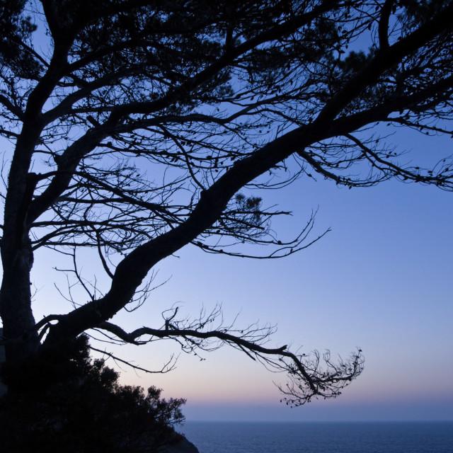 """""""Aleppo pine (Pinus halepensis)"""" stock image"""