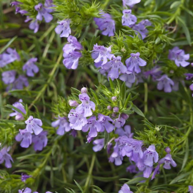 """Winter savory (Satureja montana subsp. illyrica syn. Satureja subspicata)"" stock image"