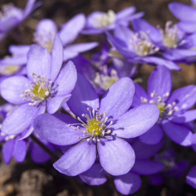 """""""Liverwort (Hepatica nobilis)"""" stock image"""