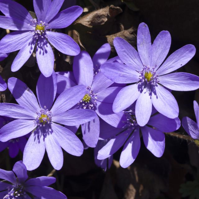 """""""Liverwort (Hepatica transsylvanica)"""" stock image"""