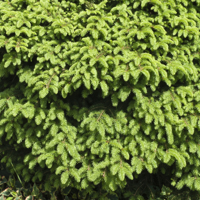 """Nest spruce (Picea abies 'Nidiformis')"" stock image"