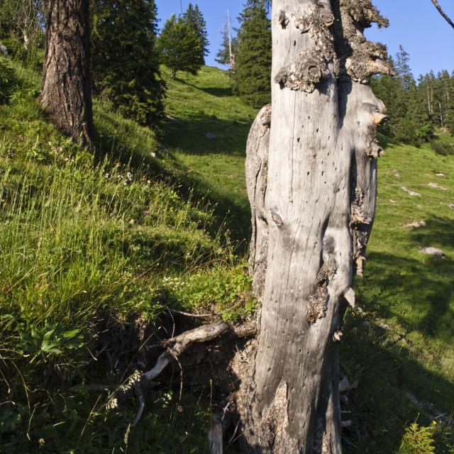 """Common spruce (Picea abies), Kaisergebirge Nature Reserve, Austria"" stock image"