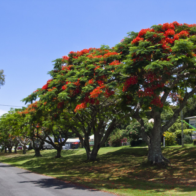 """Flamboyant (Delonix regia), Dunwich, North Stradbroke Island, Australia"" stock image"