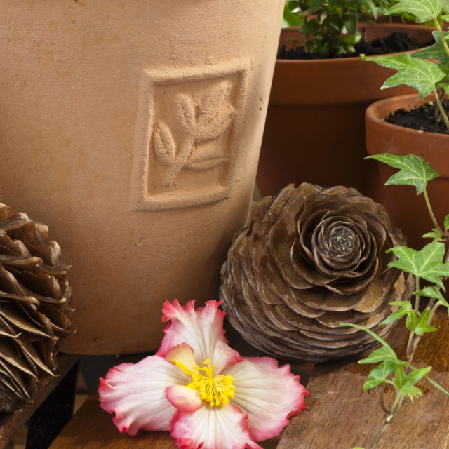 """Begonia (Begonia Crispa Marginata) with cedar cones"" stock image"