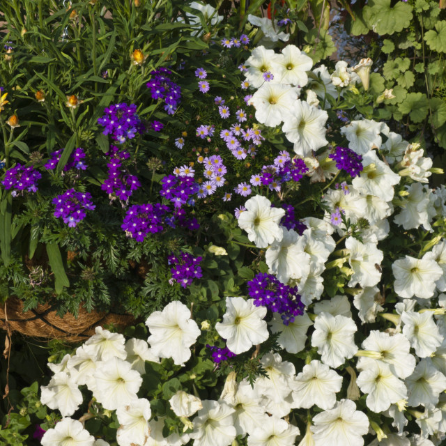 """Vervains (Verbena), cut-leaved daisy (Brachyscome) and petunias (Petunia)"" stock image"