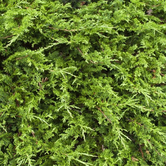 """Temple juniper (Juniperus sabina)"" stock image"