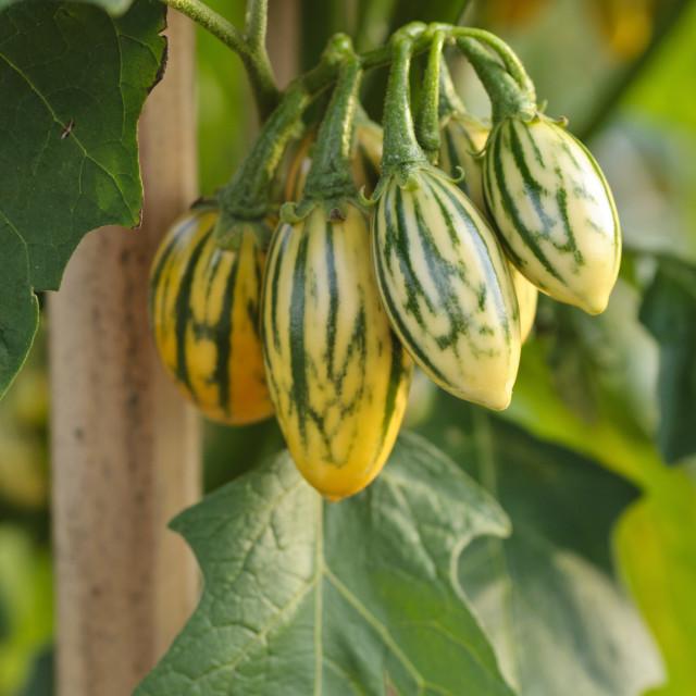 """Aubergine (Solanum melongena 'Striped Toga')"" stock image"