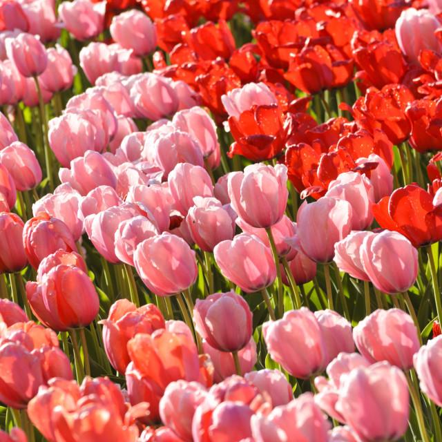 """Darwin tulip (Tulipa Salmon Impression, Tulipa Pink Impression and Tulipa Red..."" stock image"