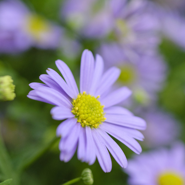 """Cut-leaved daisy (Brachyscome multifida 'Delight')"" stock image"