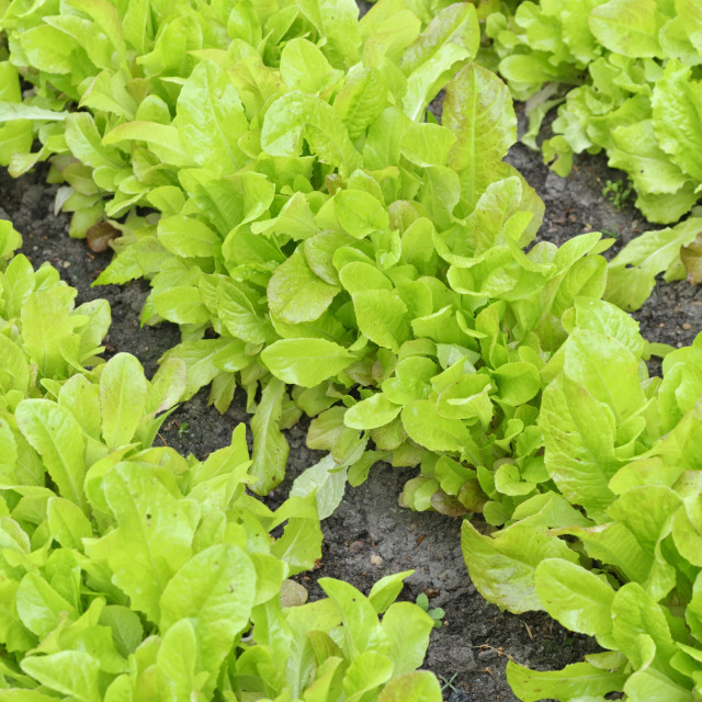 """Loose-leaf lettuce (Lactuca sativa var. crispa)"" stock image"