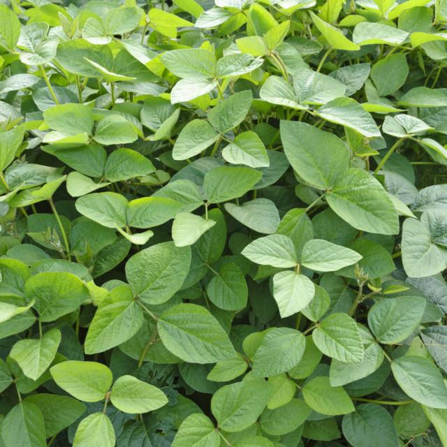 """Soya bean (Glycine max)"" stock image"