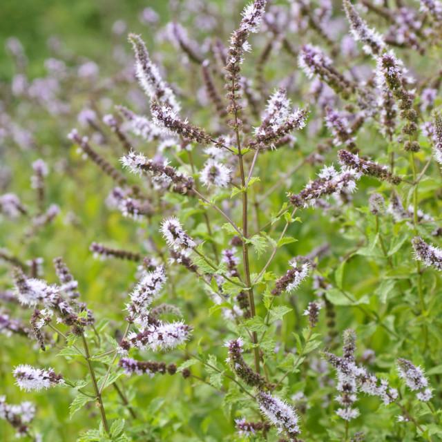 """Turkish spearmint (Mentha spicata var. crispa)"" stock image"