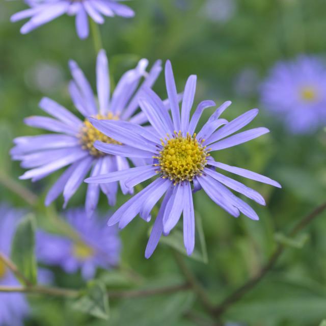 """Cut-leaved daisy (Brachyscome multifida 'Harmony')"" stock image"
