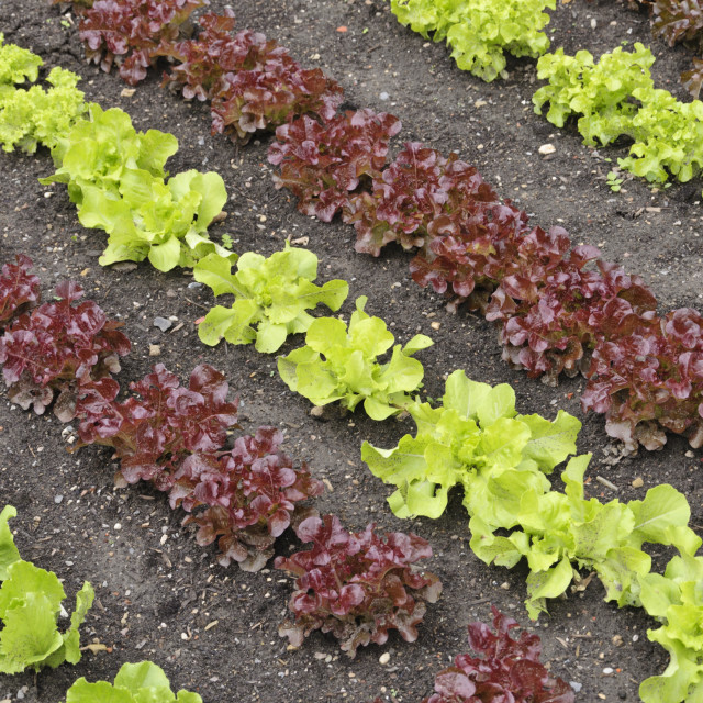 """Oak-leaf lettuce (Lactuca sativa var. crispa 'Kipling' and Lactuca sativa..."" stock image"