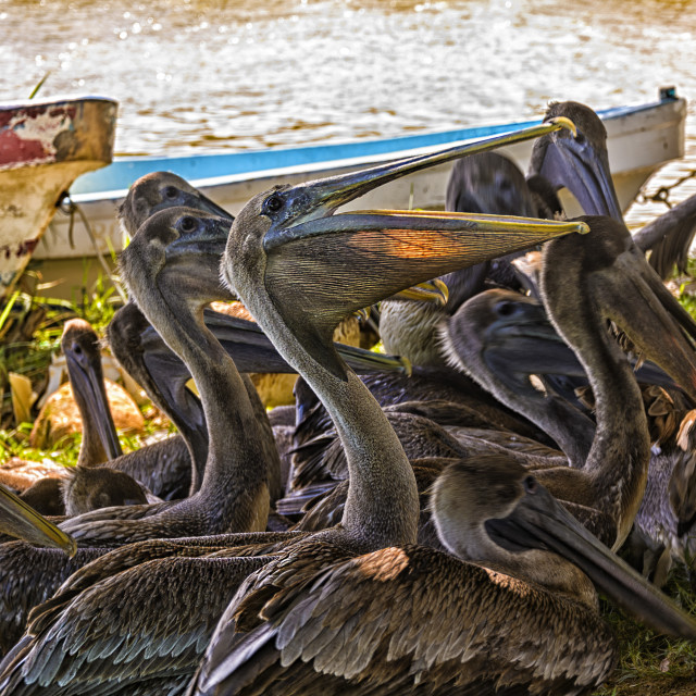 """Pelicans waiting for scraps"" stock image"