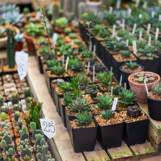 """""""Cactus and succulent in retail shop"""" stock image"""