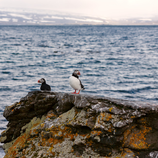 """""""Puffins in Vigur island, Iceland"""" stock image"""