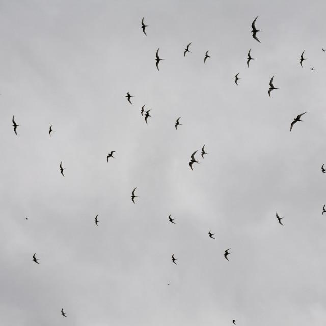 """Flock of birds in Vigur island, Iceland"" stock image"