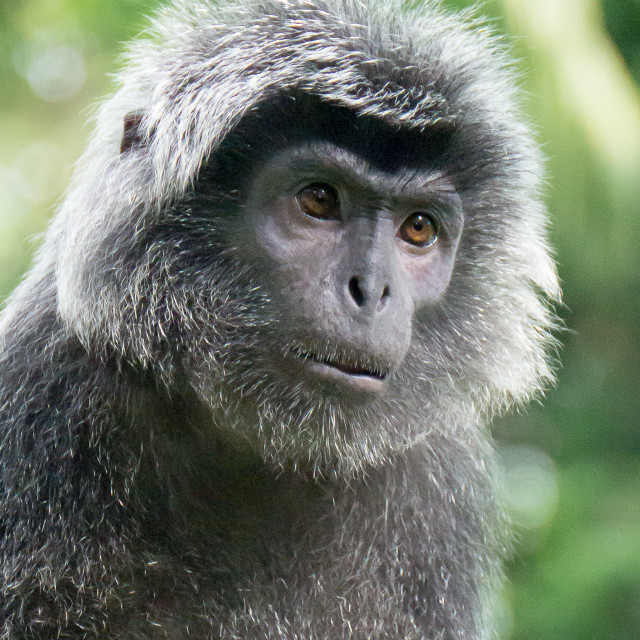 """Gray Langur with human face"" stock image"