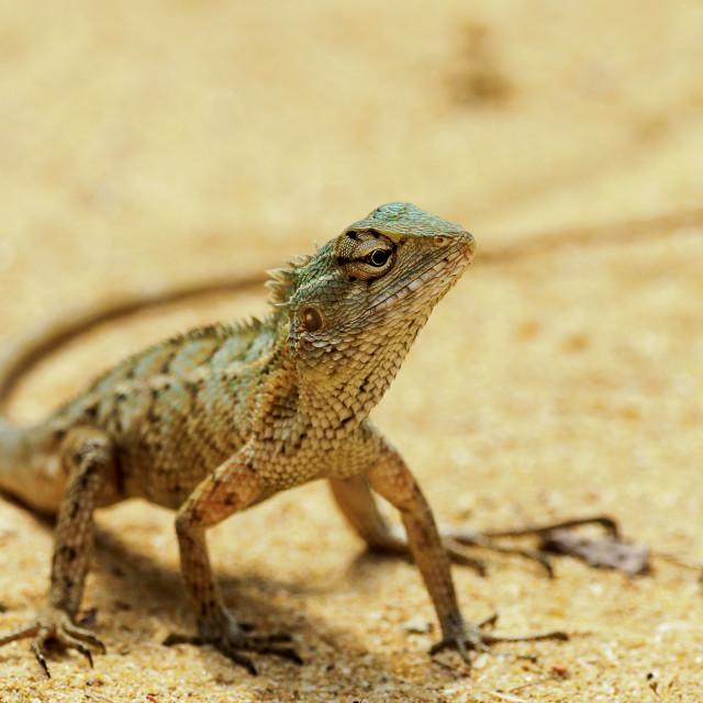 """Lizard on the sand"" stock image"