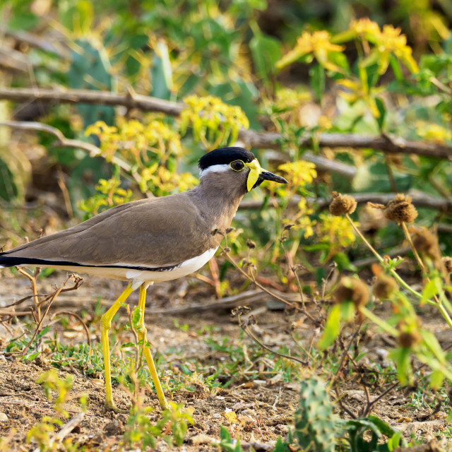 """""""Lapwing in yellow"""" stock image"""