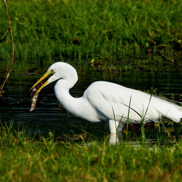 """Great Egret"" stock image"