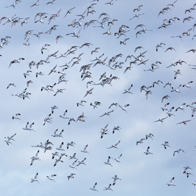 """Avocets in Flight"" stock image"