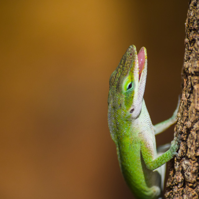 """Anole Lizard with open mouth"" stock image"