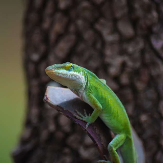 """Anole Lizard Portrait"" stock image"