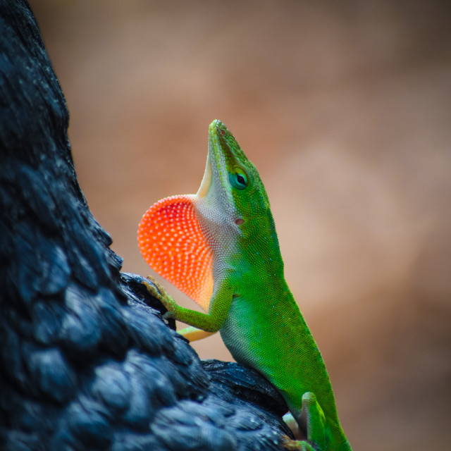"""Anole Lizard with Red Pouch"" stock image"
