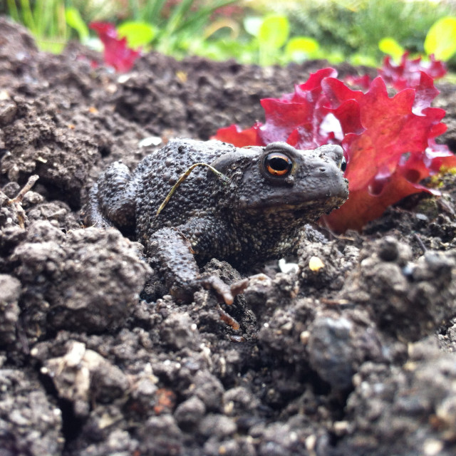 """""""Common toad in the garden"""" stock image"""