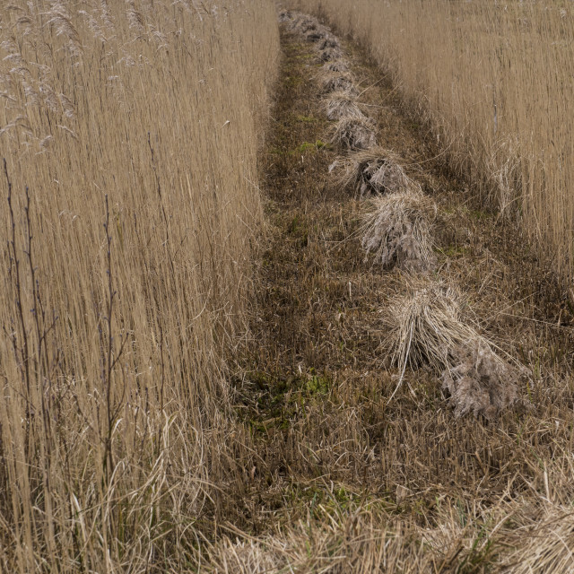 """""""Reed Stacks in a Row"""" stock image"""