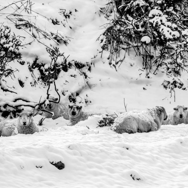 """Sheltering Sheep."" stock image"