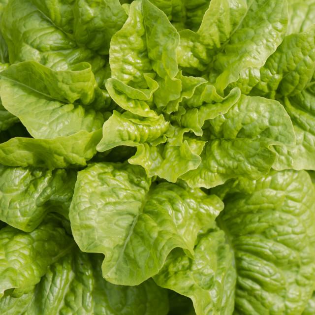 """Young Lettuce, Lactuca sativa, growing in vegetable garden"" stock image"