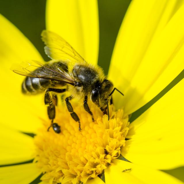 """honey bee on yellow flower"" stock image"
