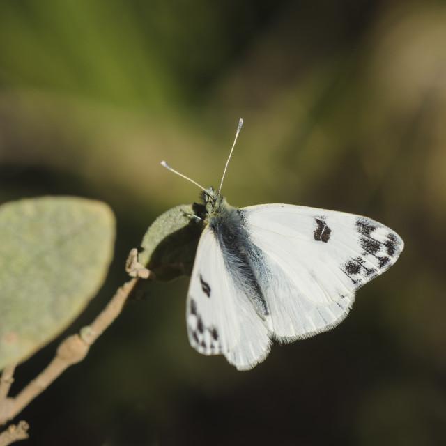 """Bath White, Pontia daplidice, butterfly in sun"" stock image"