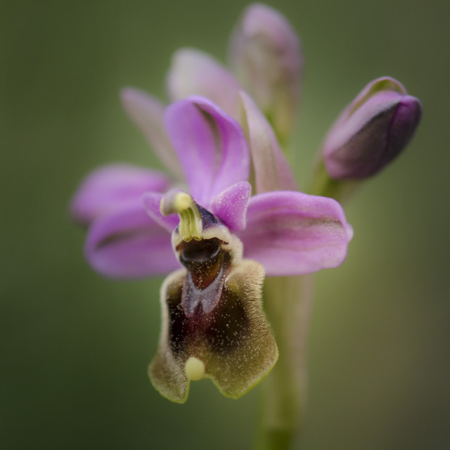 """""""Sawfly orchid, Ophrys tenthredinifera"""" stock image"""