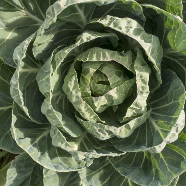 """Cabbage in vegetable garden"" stock image"