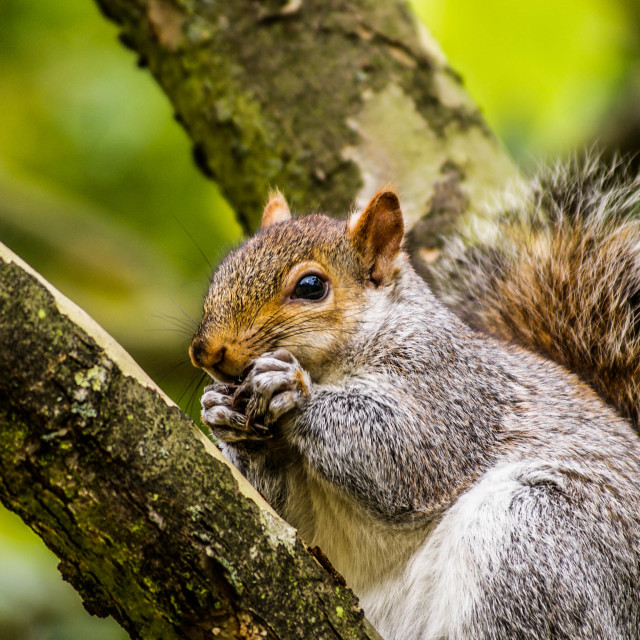 """a Squirrel In A Tree Eating"" stock image"