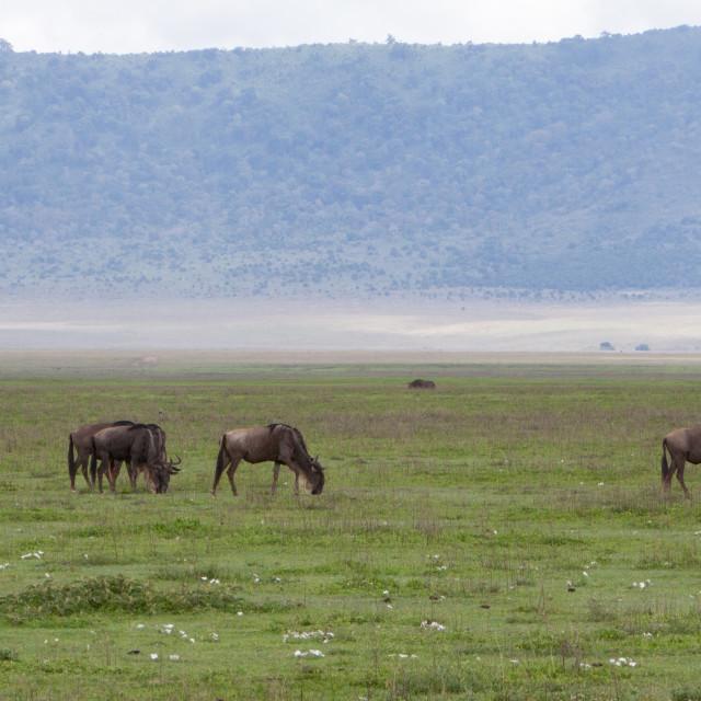 """Wildebeest Landscape"" stock image"