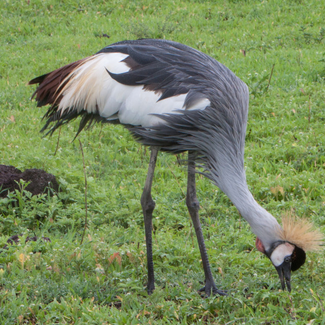 """Grey Crowned Crane"" stock image"