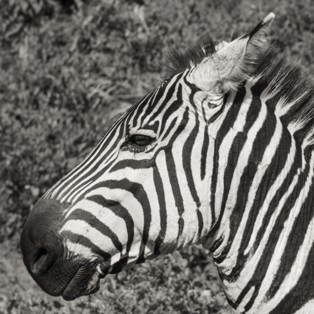 """Zebra Portrait"" stock image"
