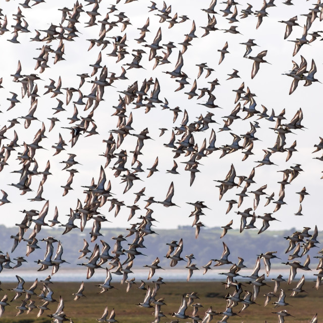 """Waders in Flight"" stock image"