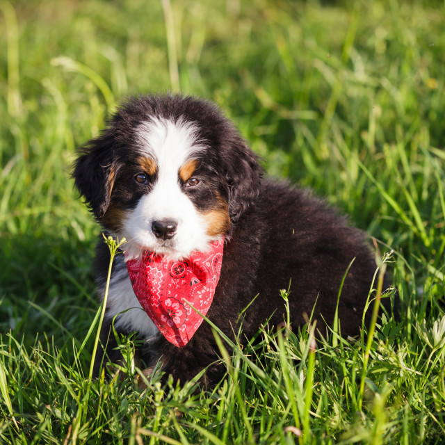 """Adorable bernese mountain dog puppy wrapped in a red shawl looking at camera"" stock image"