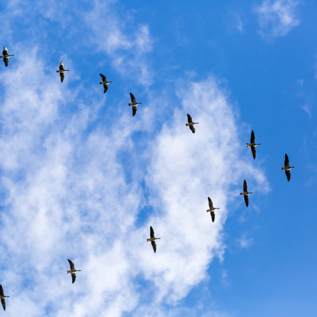 """Geese in Flight"" stock image"