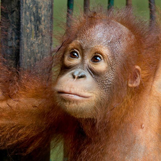 """Baby Orangutan (Pongo Pygmaeus)"" stock image"