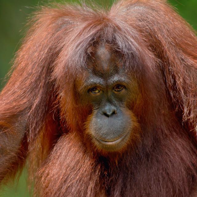 """""""Orangutan (Pongo Pygmaeus)"""" stock image"""