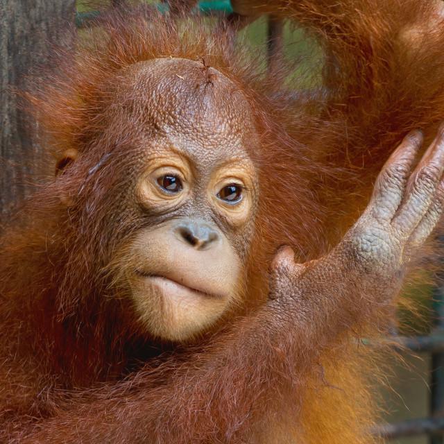 """Baby Orangutan (Pongo Pymaeus)"" stock image"