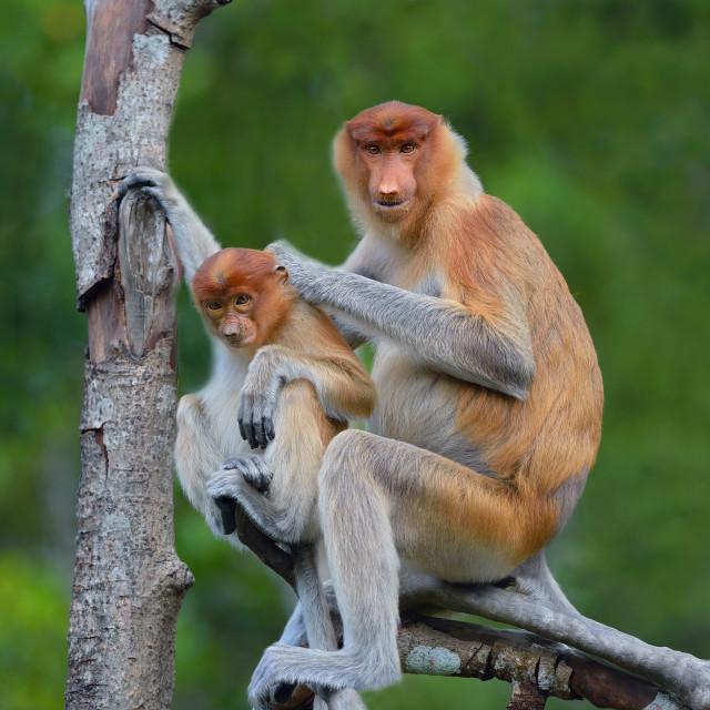 """Proboscis monkey (Nasalis Larvatus)"" stock image"