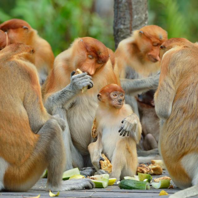 """Proboscis monkeys (Nasalis Larvatus)"" stock image"